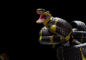 Mangrove Snake by ryanvince