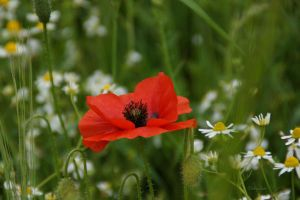 Sunday Poppy 175 by Deb-e-ann