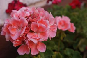 geranium by Her-Redness