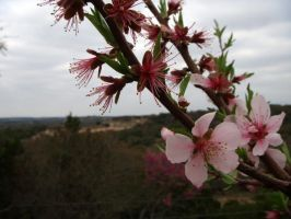 Peach Blossoms by jacquelynw