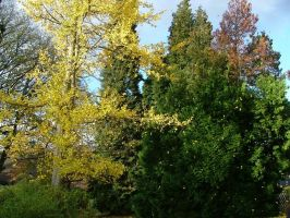Gingko Leaves In A Gust Of Autumn Wind by aegiandyad
