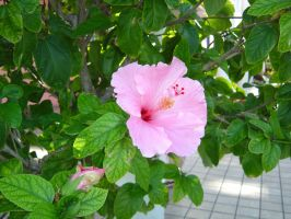 Hibiscus by greyloch-md
