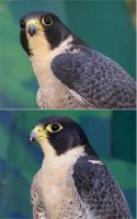 Peregrine Falcon Stock by TalkStock