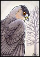 ACEO Cooper's Hawk by SageKorppi