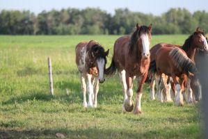 Clydesdales 13 by okbrightstar-stock
