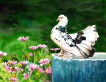 The Indian Fantail Pigeon by Shelter85