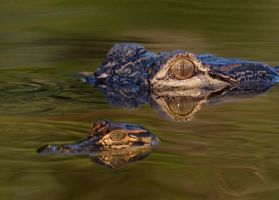 Mom and Baby Alligator by falcor28