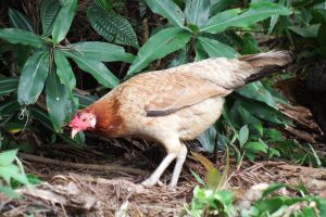 Rainforest chook 1 - Maui by wildplaces