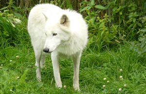 Arctic Wolf 02 by Gazzelles
