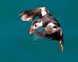 puffin 1a by pixellence2