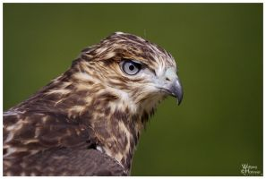 Red Tailed Hawk Portrait by W0LLE