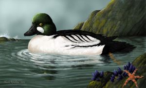 Coastal Retreat- Common Golden-eye Duck by ChuckRondeau