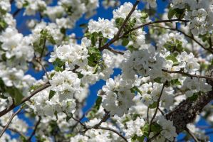 Flowering appletree nr 3 by attomanen