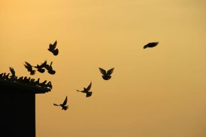Doves at sunset by Sahajalal