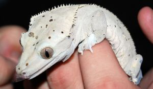 Crested Gecko III by Brouk