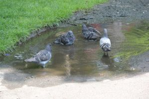Bird Bath In the Puddle, the Gathering by Miss-Tbones