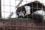 Black and White Ruffed Lemur by tammyins