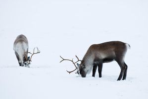 Reindeer by KennethSolfjeld