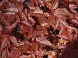 Burgundy Leaves by thelilartist