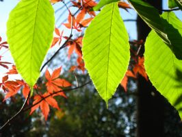 beech and a Jap by crazygardener