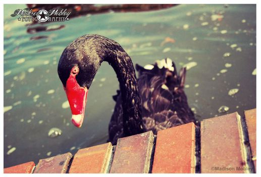 Black Swan by Maddiepantz