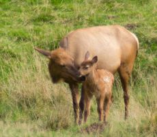 Elk by Parides
