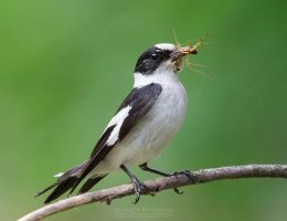 Collared flycatcher with insect prey by Sergey-Ryzhkov