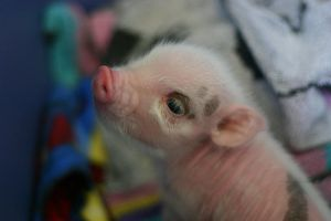 Cute Piggy Baby by le-loup-blanc