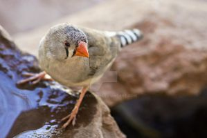 Zebra Finch by ribbonworm