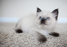 seal point ragdoll kitten by venomxbaby