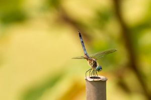 Dragonfly 4 by Apophis906