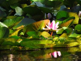 Water Lily 2 by Purplefantasticzebra