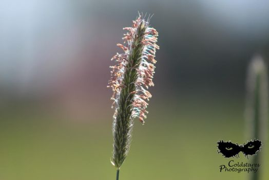 Field grass going to seed by coldstares