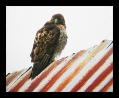 Hawk On A Red Tin Roof by swashbuckler