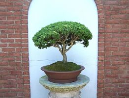 bonsai by gingermcfly