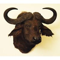 mounted African buffalo, taxidermy by Museumwinkel