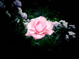 A Rose Among The Others by Odditude