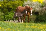 Black Foal Running around Mom - slightly blurred by LuDa-Stock