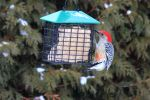 Red-bellied Woodpecker by boogster11