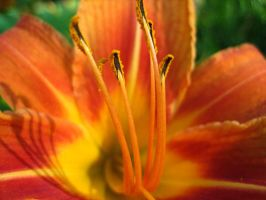 Tiger Lilly IV by Holly6669666
