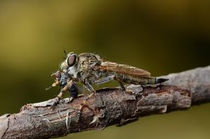 Robber fly and Peribaea sp. Tachinidae by Smederevac