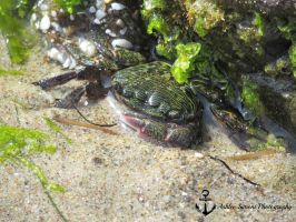 Crab In Tide Pool by redheadsrock95