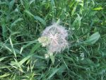 Big Ball of Dandelion Fluff by Windthin