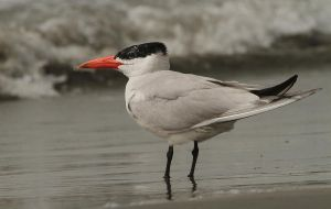 A splash of colour - Caspian Tern by Jamie-MacArthur