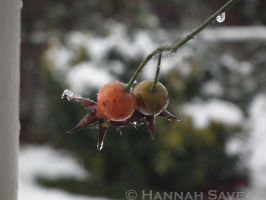 Snowy Berries by hjsaveall
