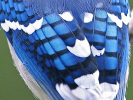 Blue Jay Up Close by MichelLalonde