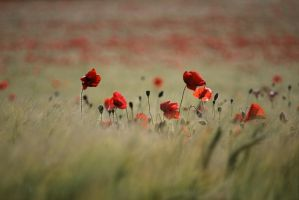 Poppy's by NikonD60