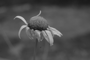 The oxeye daisy by Tapire