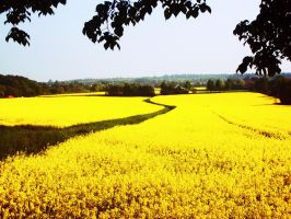 canola field. by MalleSunday