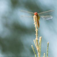 Red Dragonfly by pharaohking